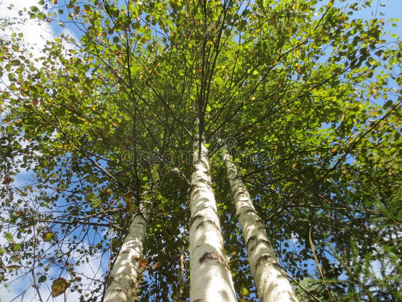 Three birch trees on the background of blue sky in late summer on a Sunny day. royalty free stock photos
