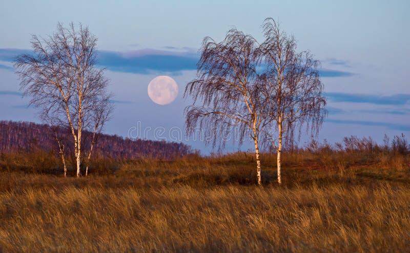 Three birch trees and moon at dawn stock photos