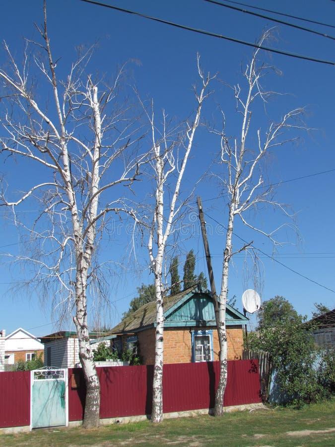 Three birch trees near the house royalty free stock photo