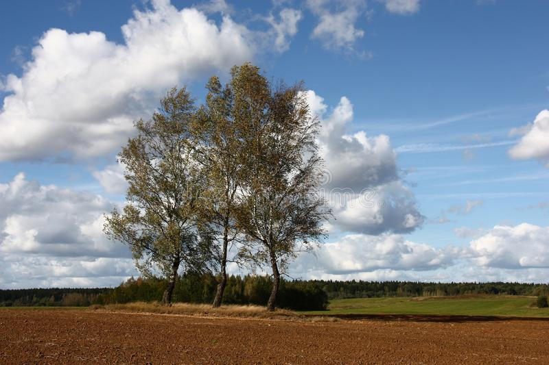 Three birches among an arable land. Fall. Among the plowed field there are three birches. Strong wind drives white clouds and oppression of a branch of trees royalty free stock image