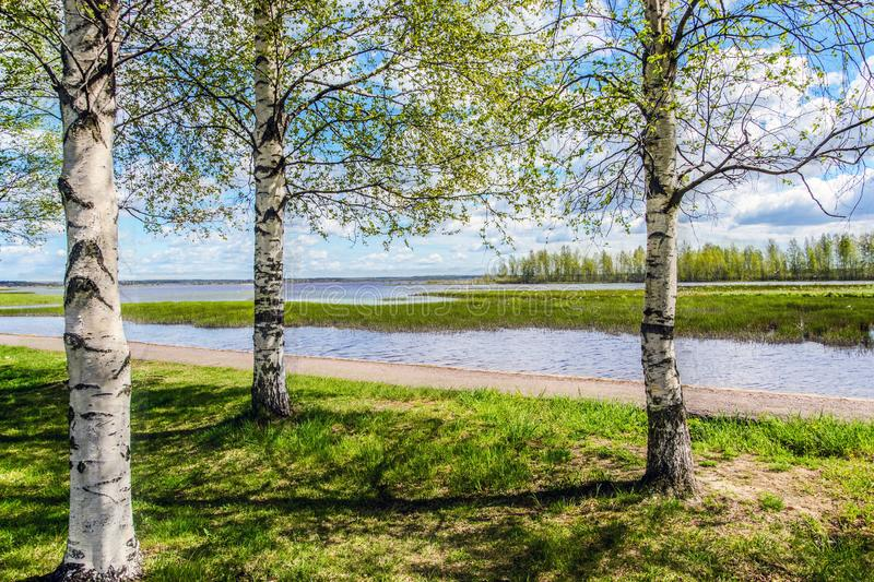 Three birches on the lake. Cloudy bright Sunny day. Warm wind.Good mood stock images