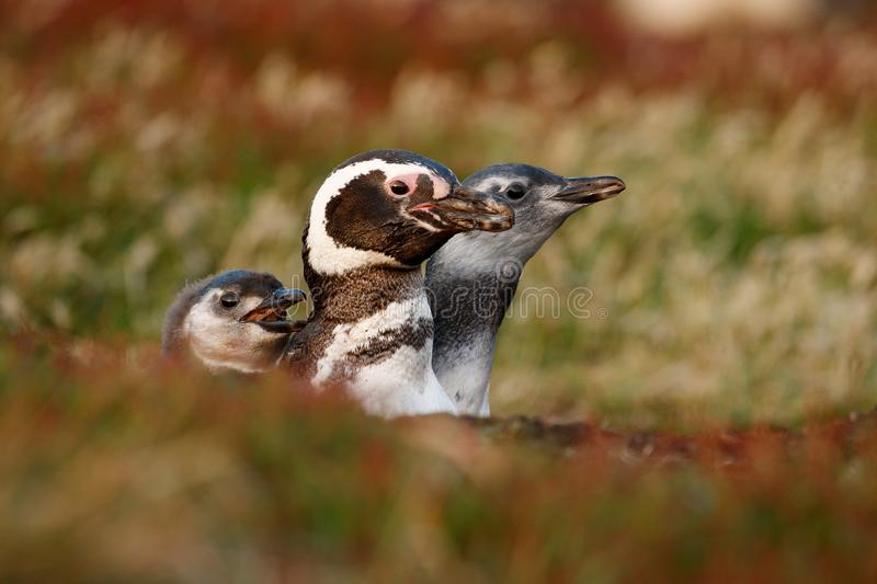 Three birds in the nesting ground hole, baby with mother, Magellanic penguin, Spheniscus magellanicus, nesting season, animals in royalty free stock photos