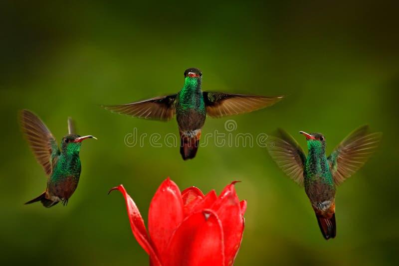 Three birds with red flower. Rufous-tailed Hummingbird, Amazilia tzacatl, bird flying next to beautiful red rose hibiscus flower stock image
