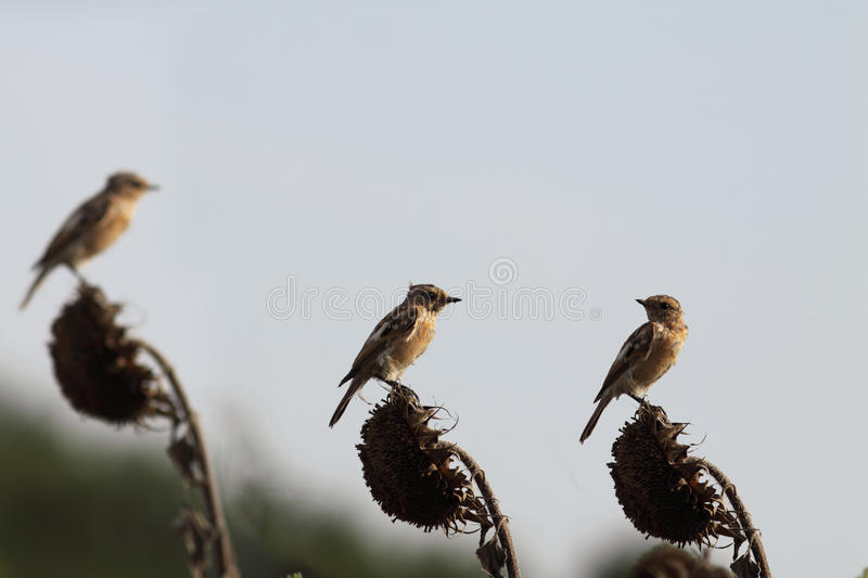 Three birds on a sunflower field stock images