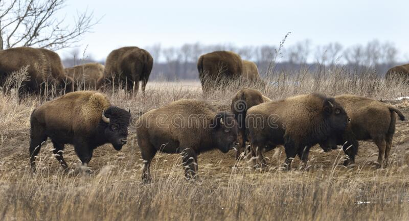 A herd of bison in early winter. stock images