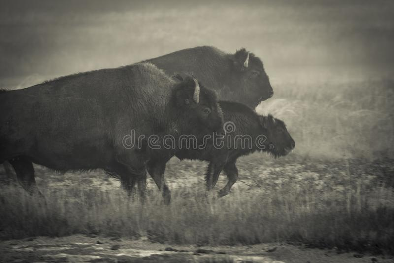 Three bison walking in fog. stock images