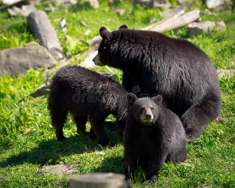 Three Black Bears - Mother and Two Cubs. A sleuth, or group, of three American black bears (Ursus americanus), a mother bear and two of her cubs, sit in a rocky royalty free stock photo