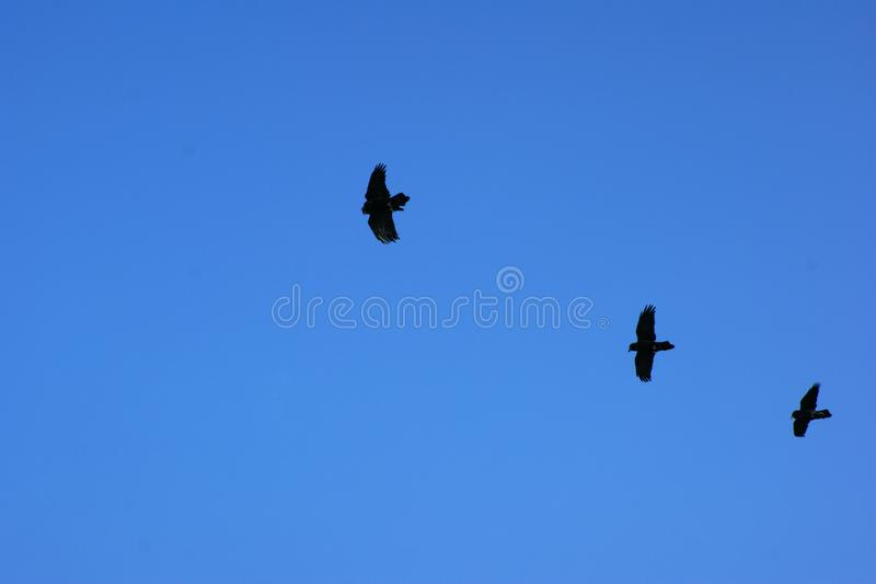 Three birds flying in line against a blue sky. stock image