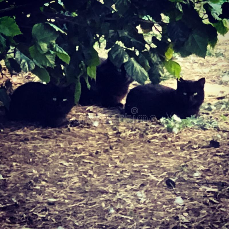 Three black cats. With green eyes in a royalty free stock image