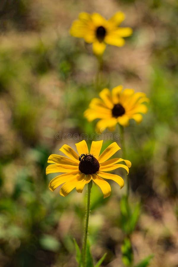 Three Black-eyed Susan Wildflowers– Rudbeckia hirta royalty free stock photography