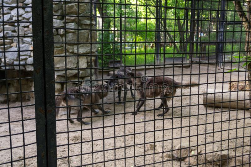 Three black hungry wolves fight stock photography