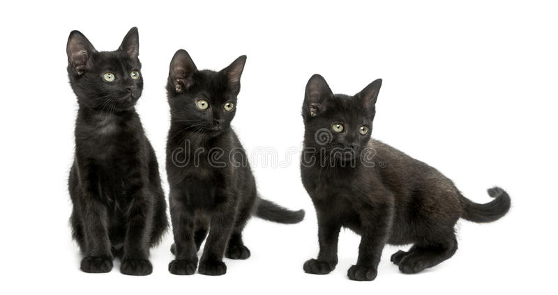 Three Black kittens looking away, 2 months old, isolated stock image