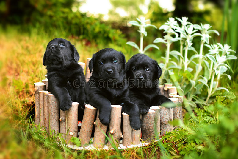 Three black Labrador puppy royalty free stock image