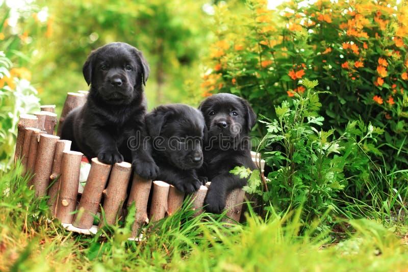 Three black Labrador puppy royalty free stock images