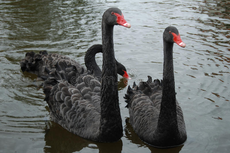 Three Black swans royalty free stock images