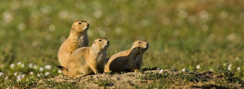 Three Black Tailed Prairie Dogs stock image