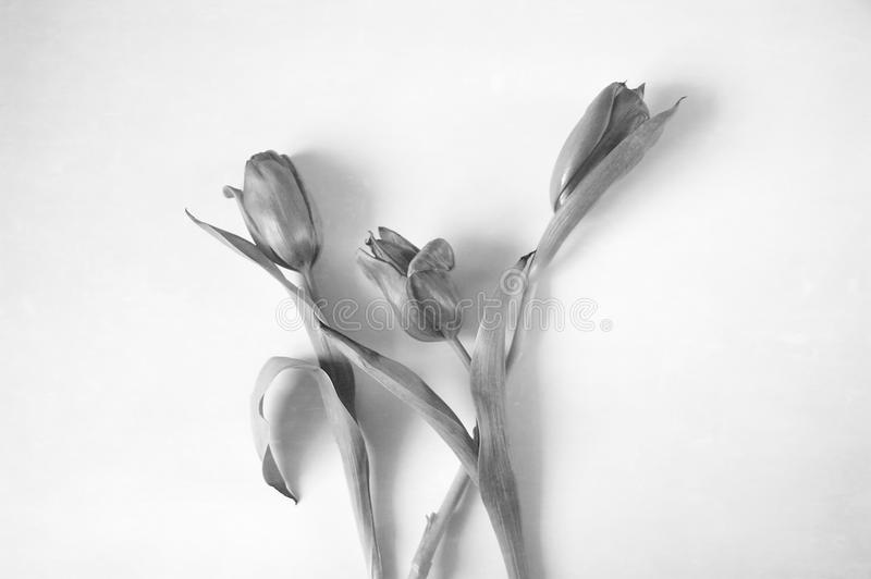 Three black and white tulips stock images