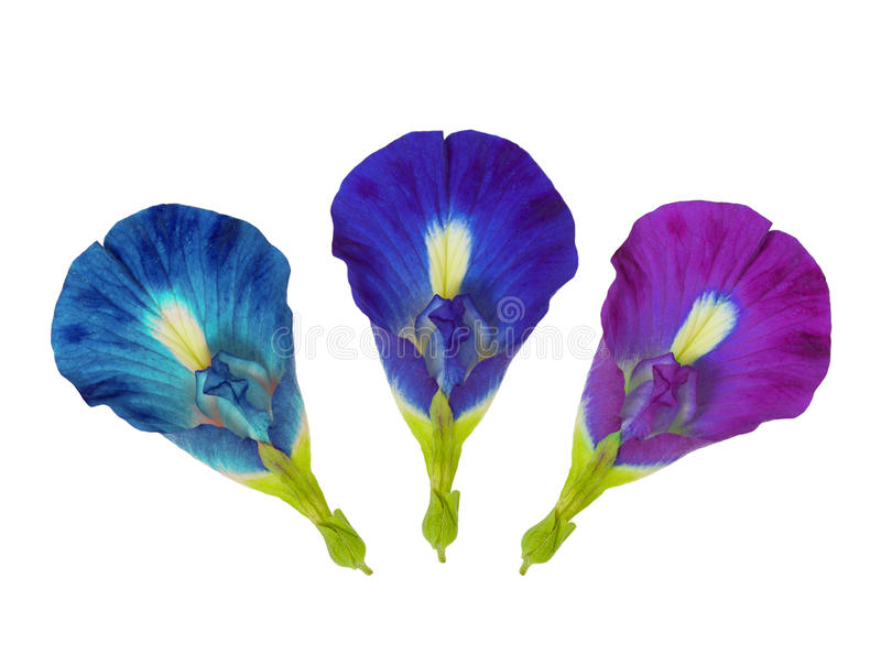 Three Blue Butterfly Pea Flower isolated on white stock photography