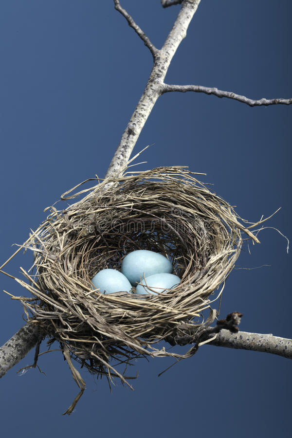 Download Three Blue Eggs in Nest stock image. Image of twigs, tree - 17426075