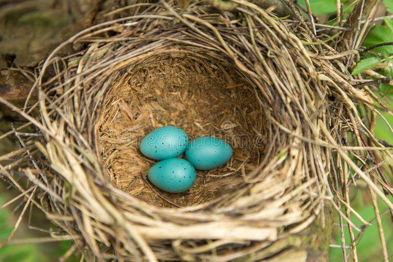 Three blue eggs in the nest closeup royalty free stock photos