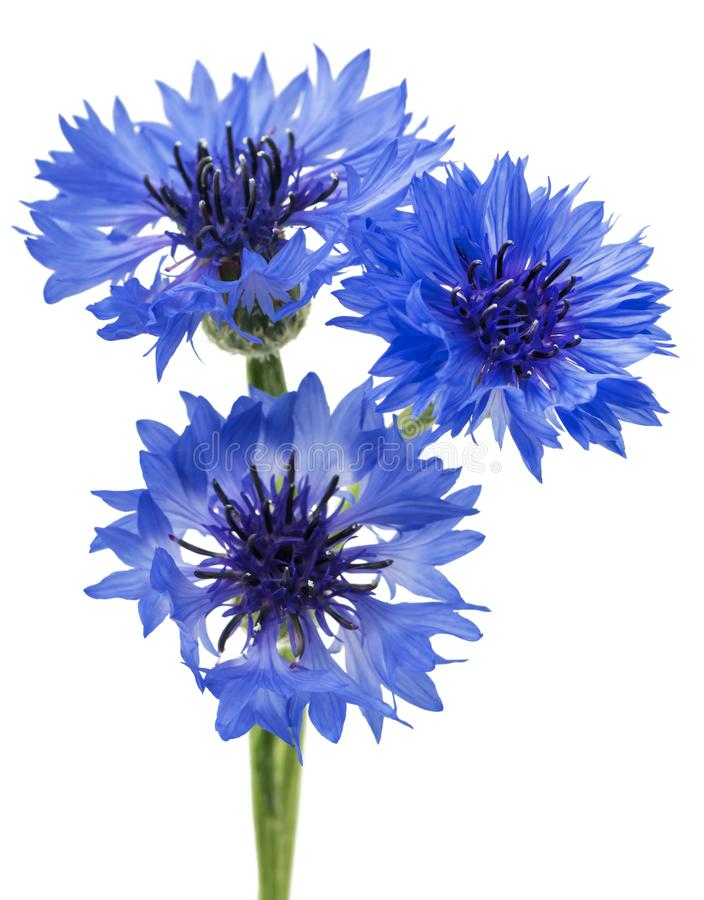 Three blue flowers of a cornflower, isolated on a white background. Selective focus stock photos
