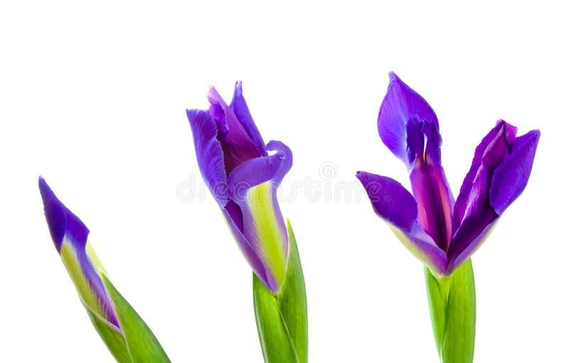 Three Blue Iris Flowers royalty free stock photos