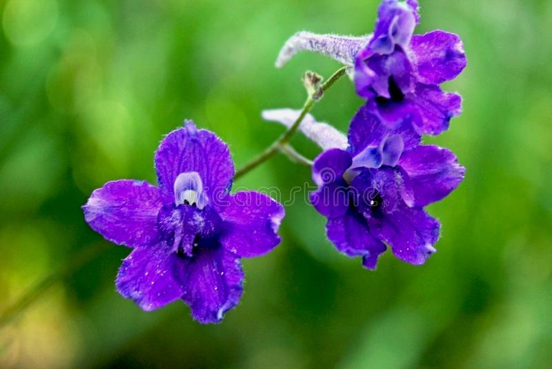 Purple Giant Larkspurs, Tuolumne Meadows, Yosemite National Park stock image