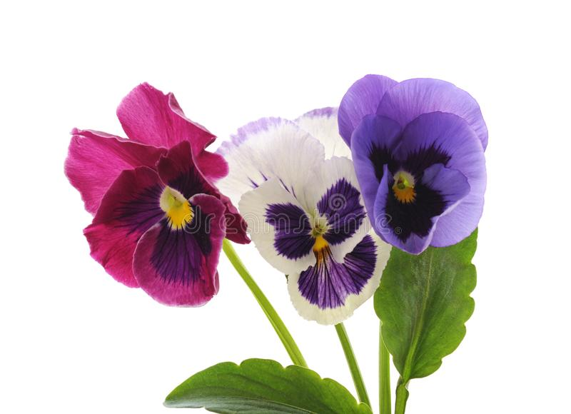 Three blue violets. royalty free stock photos