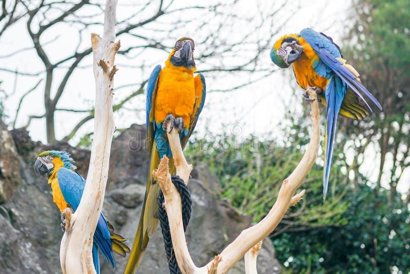 Three Blue and Yellow Macaw on tree branch. Izu,Japan royalty free stock photo