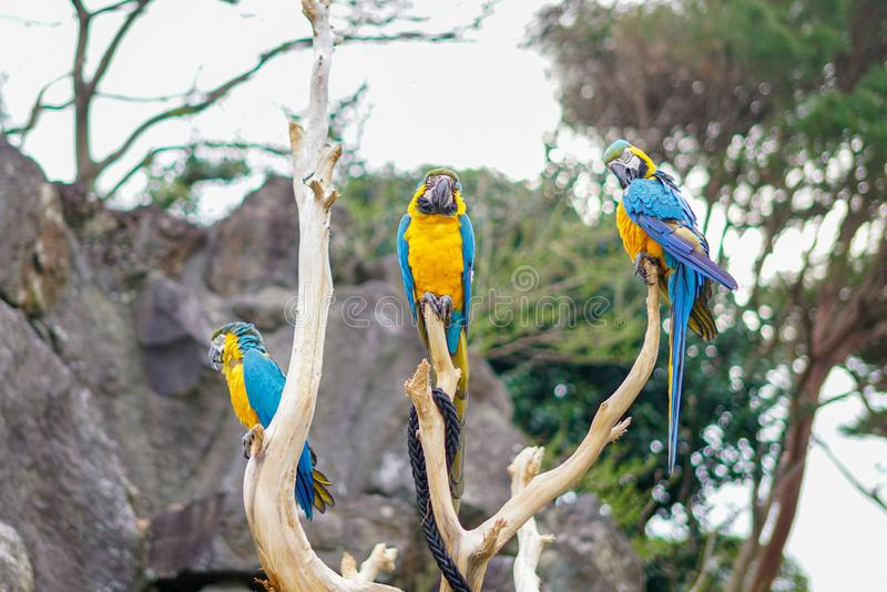 Three Blue and Yellow Macaw on tree branch. Izu,Japan royalty free stock photos