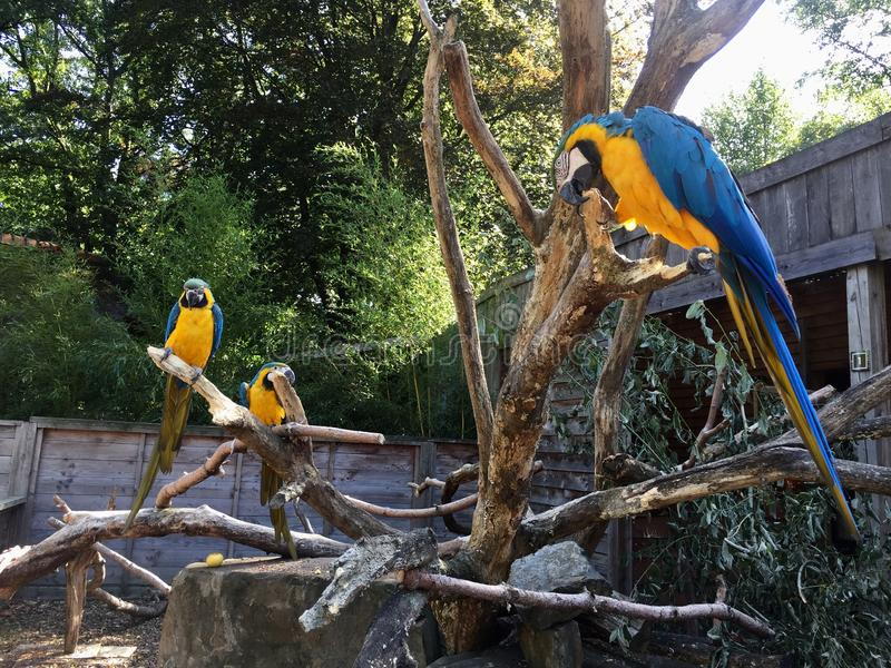 Blue Yellow Macow Parrot stock photo
