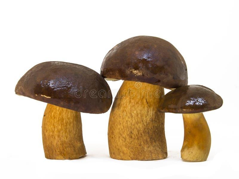 Three Boletus edulis , edible mushroom,, white backgroun royalty free stock image