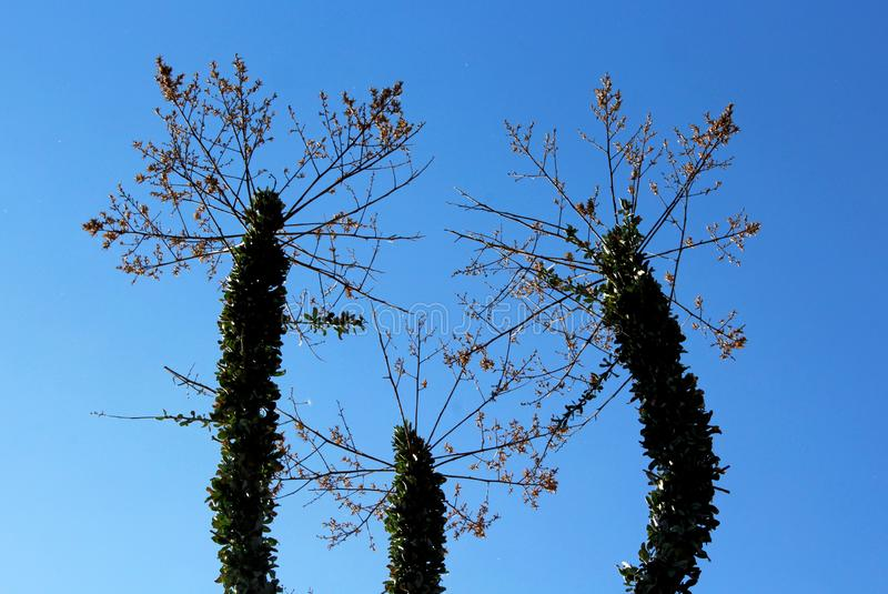 Boojum Tree and the blue sky. Three Boojum Trees under the blue sky of California. Boojum is a tree-like succulent with a water-storing trunk and an array of stock images