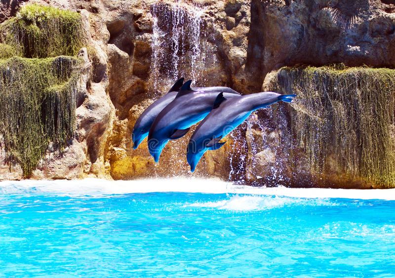 Three Bottlenose dolphins performing syncronised stunt stock image