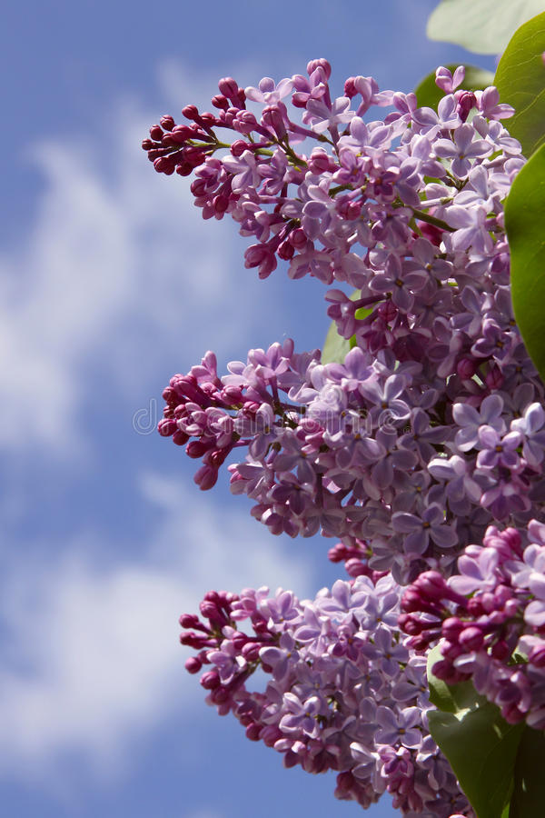 Download Three branches of lilacs stock image. Image of bright - 19583765