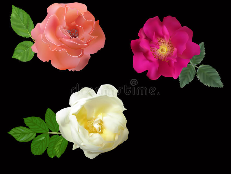 Three briers and roses flowers on black. Illustration with roses isolated on black background royalty free illustration
