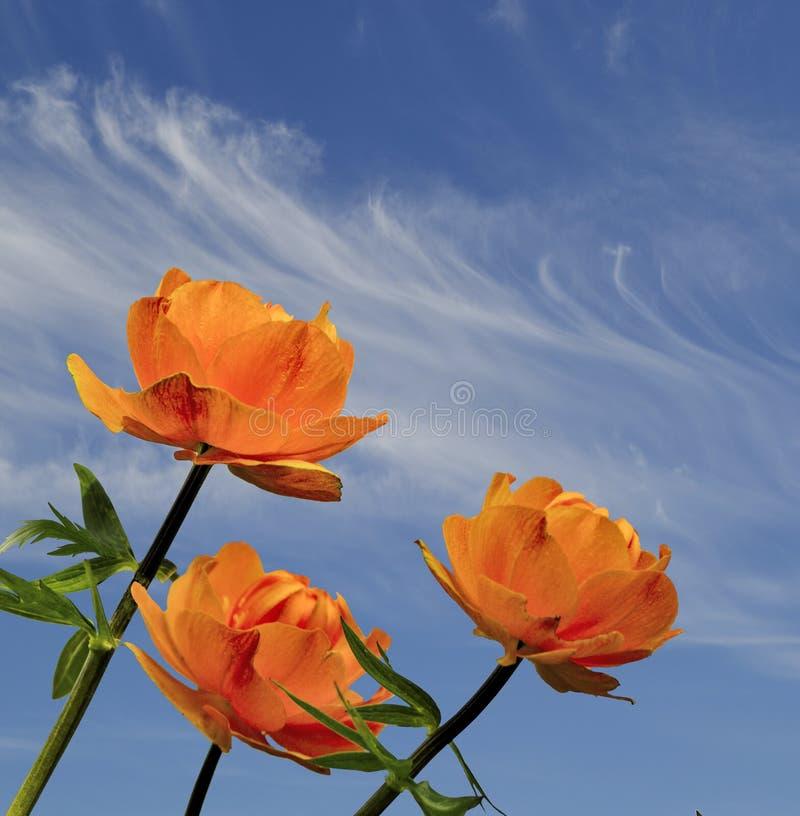 Three bright orange globe-flowers Trollius asiaticus on blue sky background royalty free stock photos