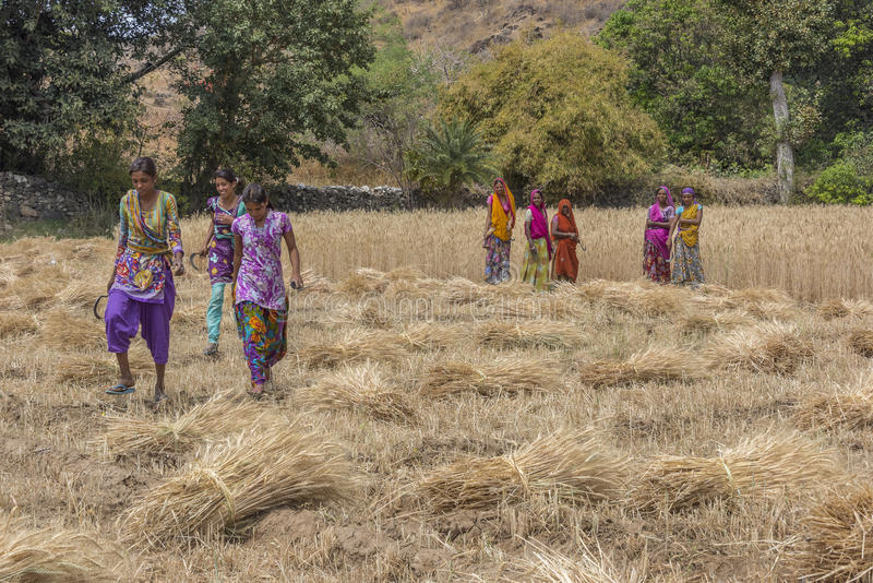Three brightly clad young female wheat cutters near Udaipur in Rajasthan stock photos