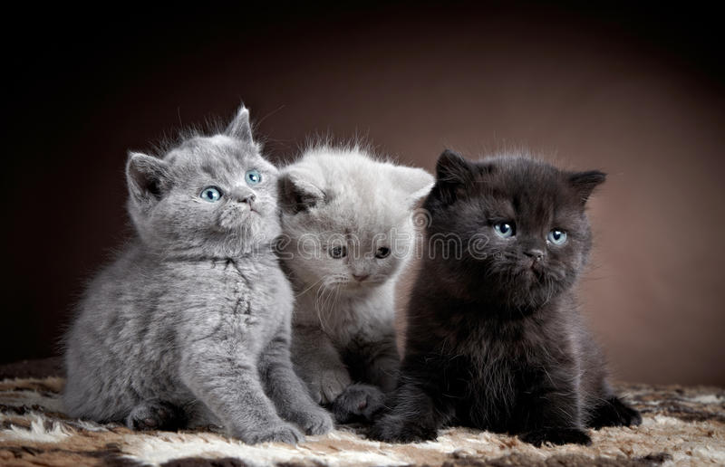 Three british short hair kittens royalty free stock photo