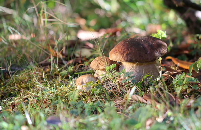 Download Three brothers mushrooms stock photo. Image of green - 26611118