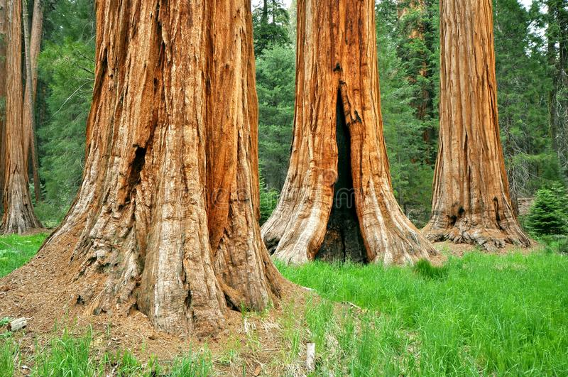 Three Brothers - Sequoia trees, Yosemite royalty free stock photos