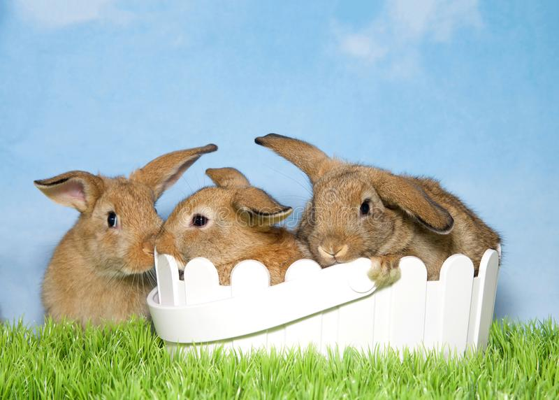 Three brown bunnies on grass two in easter basket. Three adorable brown baby bunnies, two in basket and one sitting next to it in green grass with blue royalty free stock photo