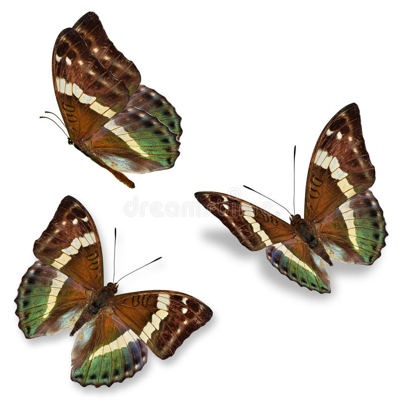 Three brown butterfly stock images