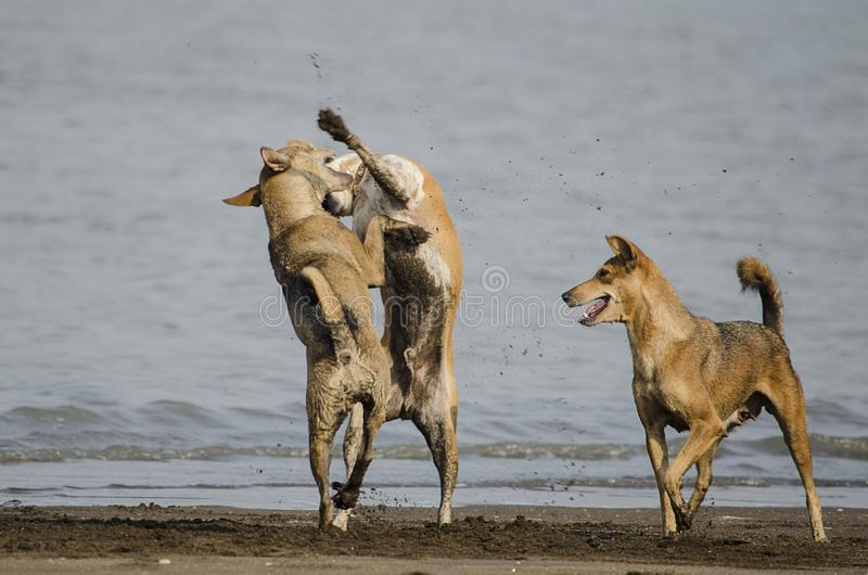 Three Brown Dogs Fighting and Playing at Indian Beach in morning royalty free stock image