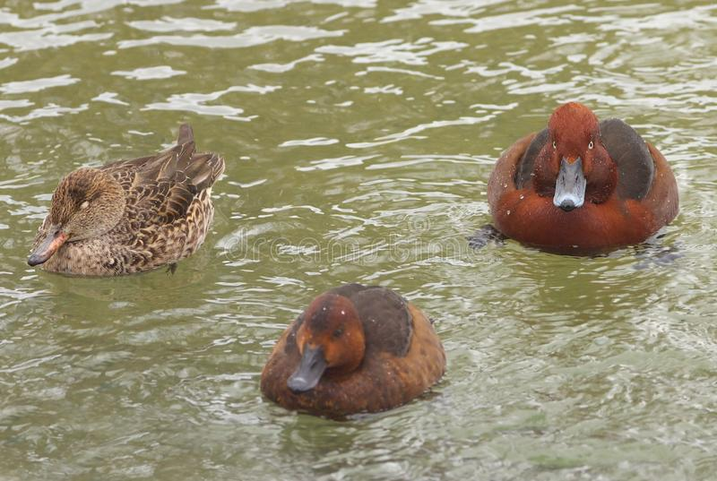 Three brown ferruginous ducks swimming on the water level royalty free stock images
