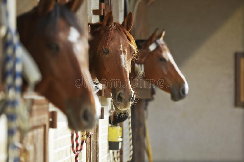 Three brown horses in the stable stock photography