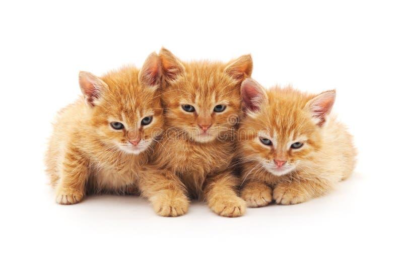 Three brown kittens. stock photos