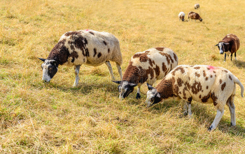 Three brown spotted sheep in the foreground in yellowed grass stock image
