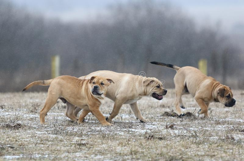 Ca de Bou Mallorquin Mastiff puppy dogs. Three brown three months old Ca de Bou Mallorquin Mastiff male puppy dogs playing outdoors stock images