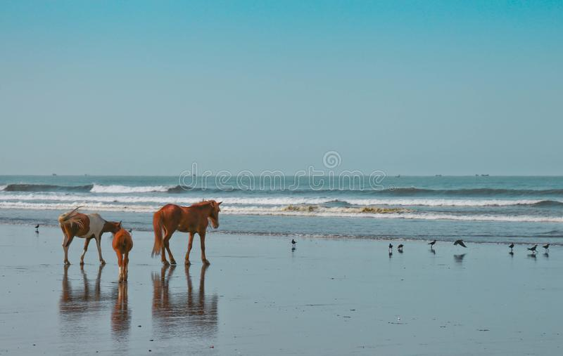 Three Brown and White Horses Near Flock of Birds and Body of Water stock photography